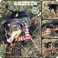 Adopt A Pet :: Griffin - Kimberton, PA