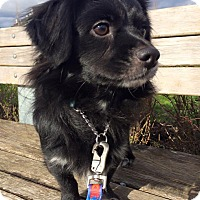 Adopt A Pet :: Curly - Pitt Meadows, BC