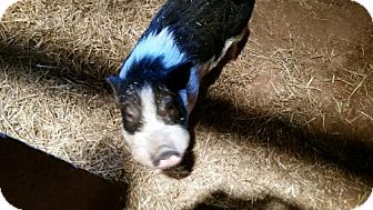 Pig (Potbellied) for adoption in Parker Ford, Pennsylvania - Mr P