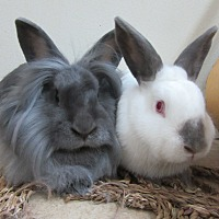 Lionhead Mix for adoption in Newport, Delaware - Wynn & Beatty