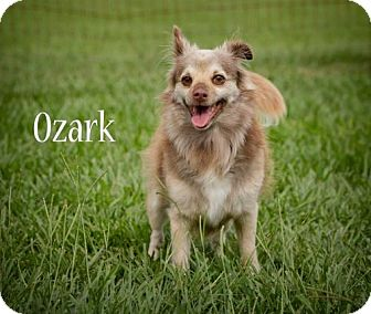 Chihuahua Dog for adoption in BROOKSVILLE, Florida - OZARK
