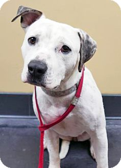Pit Bull Terrier Mix Dog for adoption in San Diego, California - Brownie - Courtesy Post
