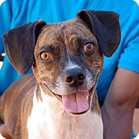 Adopt A Pet :: Patrick - Las Vegas, NV