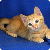 Adopt A Pet :: Triscuit - Gaithersburg, MD