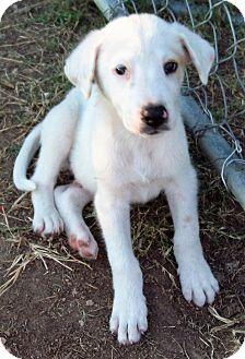 Labrador Retriever/Australian Shepherd Mix Puppy for adoption in Waller, Texas - Casper