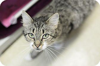 Domestic Shorthair Cat for adoption in Whitehall, Pennsylvania - Fluffy