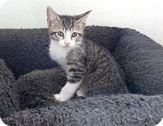 Domestic Shorthair Kitten for adoption in Lathrop, California - Rancher