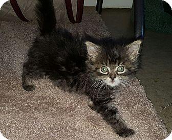 Maine Coon Kitten for adoption in Irwin, Pennsylvania - Mitzy