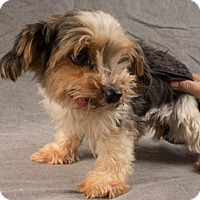 Yorkie, Yorkshire Terrier Dog for adoption in Colorado Springs, Colorado - Carina
