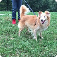 Pomeranian/Spitz (Unknown Type, Medium) Mix Dog for adoption in Pomfret, Connecticut - COCO