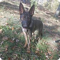 German Shepherd Dog Dog for adoption in Louisville, Kentucky - Dex
