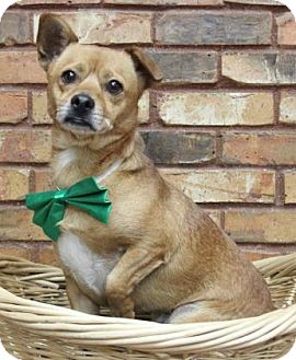 Chihuahua/Terrier (Unknown Type, Medium) Mix Dog for adoption in Benbrook, Texas - Rex