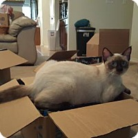 Siamese Cat for adoption in Austin, Texas - Baby Ruth