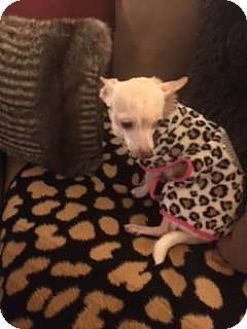 Chihuahua Mix Dog for adoption in San Antonio, Texas - Hope