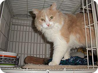 Domestic Mediumhair Cat for adoption in Boise, Idaho - Simba