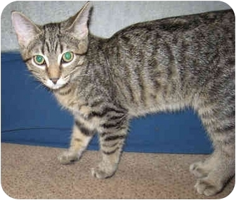 Domestic Shorthair Kitten for adoption in Solon, Ohio - Simba