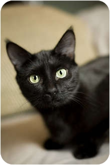 Domestic Shorthair Kitten for adoption in Chicago, Illinois - Raven