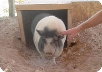 Pig (Potbellied) for adoption in Las Vegas, Nevada - Cowboy Max