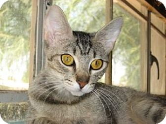 Domestic Shorthair Cat for adoption in Fountain Hills, Arizona - PEARL