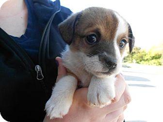 German Shepherd Dog Mix Puppy for adoption in Atascadero, California - Gary