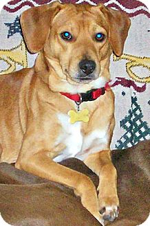 Beagle/Labrador Retriever Mix Dog for adoption in Indianapolis, Indiana - Manny
