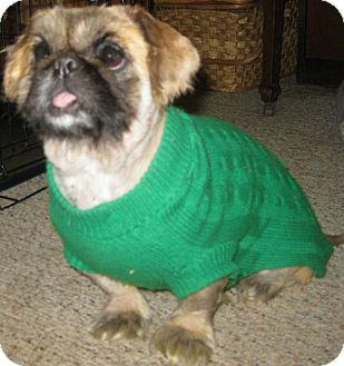 Pekingese Dog for adoption in Prole, Iowa - Sheba