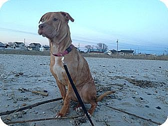 American Staffordshire Terrier/Shar Pei Mix Dog for adoption in East Rockaway, New York - Sara Jane