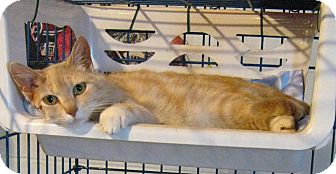 Domestic Shorthair Cat for adoption in Geneseo, Illinois - Soup