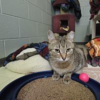 Domestic Shorthair Cat for adoption in House Springs, Missouri - Harvey