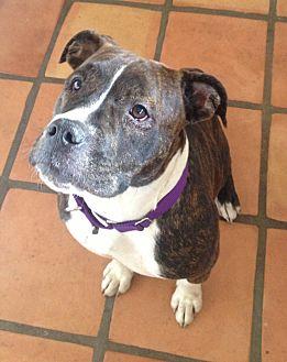 English Bulldog/Staffordshire Bull Terrier Mix Dog for adoption in San Diego, California - Abby
