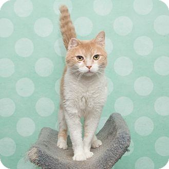 Domestic Shorthair Cat for adoption in Chippewa Falls, Wisconsin - Clouse