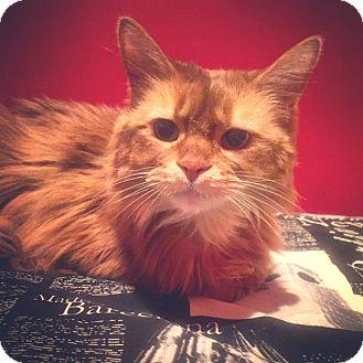 Somali Cat for adoption in Toronto, Ontario - Tayoh