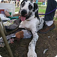 Great Dane Puppy for adoption in Phoenix, Arizona - Rio/Foster Needed