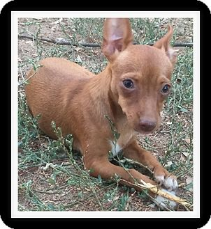 Chihuahua/Dachshund Mix Puppy for adoption in Winchester, California - PIXIE