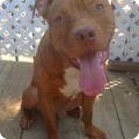 Staffordshire Bull Terrier Mix Dog for adoption in Santa Ana, California - Brownie