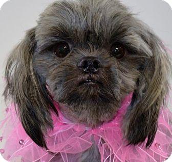 Shih Tzu Mix Dog for adoption in Brunswick, Maine - Piper