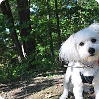 Adopt A Pet :: Vicky - New Castle, PA