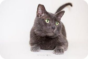 Russian Blue Cat for adoption in Los Alamos, New Mexico - Jeffie