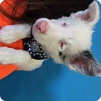 Australian Shepherd Dog for adoption in San Francisco, California - Whitney