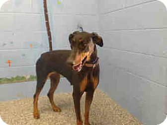 Doberman Pinscher Dog for adoption in San Bernardino, California - URGENT ON 10/14  San Bernardin