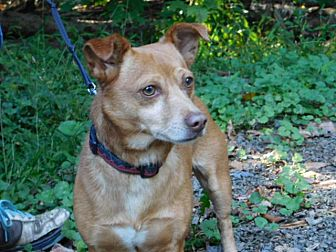 Dachshund/Terrier (Unknown Type, Small) Mix Dog for adoption in Millerstown, Pennsylvania - BROWNIE