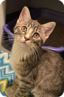 Domestic Shorthair Kitten for adoption in Lincoln, Nebraska - Beasley