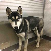 Adopt A Pet :: A498953 - San Bernardino, CA