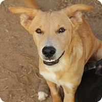 Australian Shepherd/Labrador Retriever Mix Puppy for adoption in Raleigh, Texas - A - RANGER