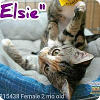 Domestic Mediumhair Kitten for adoption in Naples, Florida - ELSIE