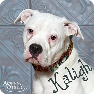 Boxer/American Bulldog Mix Dog for adoption in Valparaiso, Indiana - Kaligh