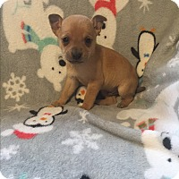 Miniature Pinscher/Chihuahua Mix Puppy for adoption in Hazard, Kentucky - Mikey