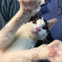 Adopt A Pet :: DOMINO - Canfield, OH