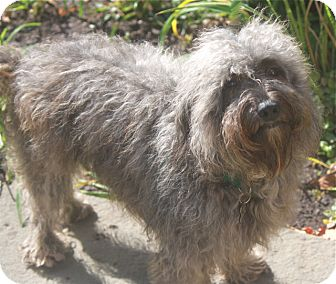Poodle (Miniature)/Lhasa Apso Mix Dog for adoption in Norwalk, Connecticut - Bedford