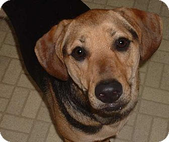 Shepherd (Unknown Type)/Labrador Retriever Mix Dog for adoption in North Olmsted, Ohio - Sunny-Courtesy Post